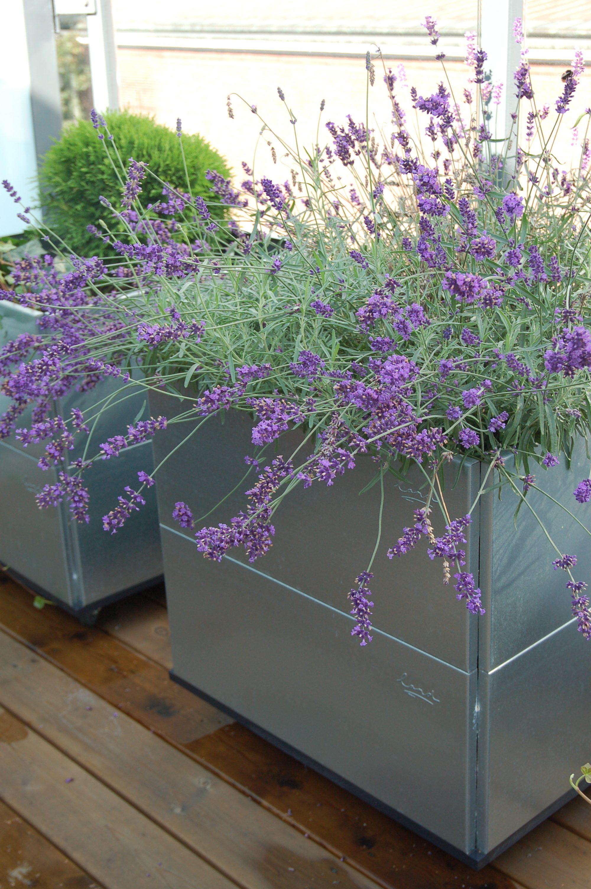 lavendel plantekasse i Mobile