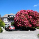 Rhododendron – May Queen